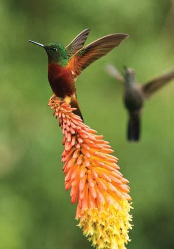 The flower bunch looking like a part of red green colored hummingbird