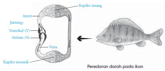 Sirkulasi Ikan