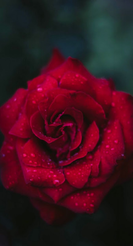Red Flower Wallpaper Wallpapers Gallery