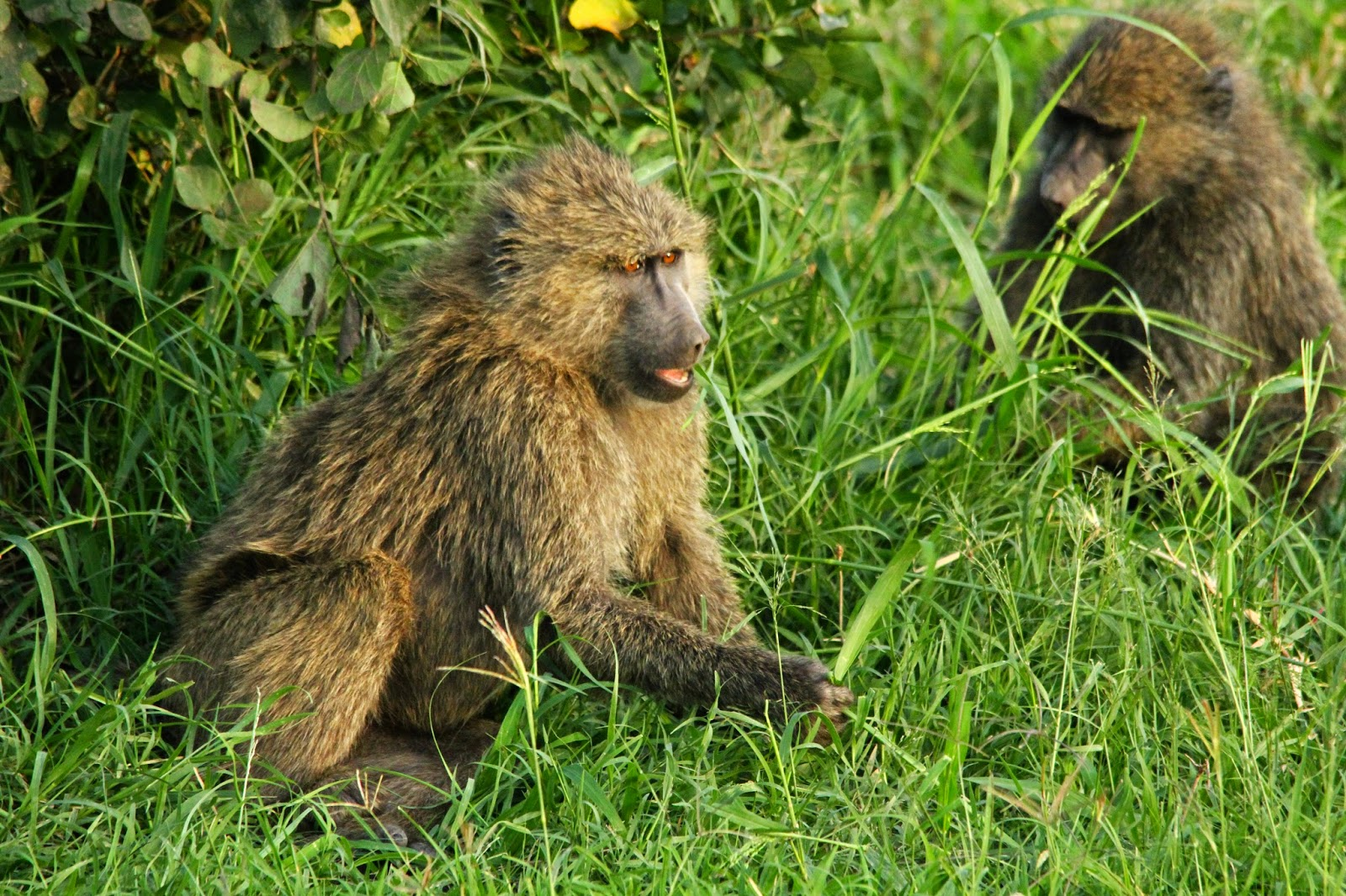 VER BABUÍNOS NO SERENGETI - O amor anda no ar no Serengeti | Tanzânia