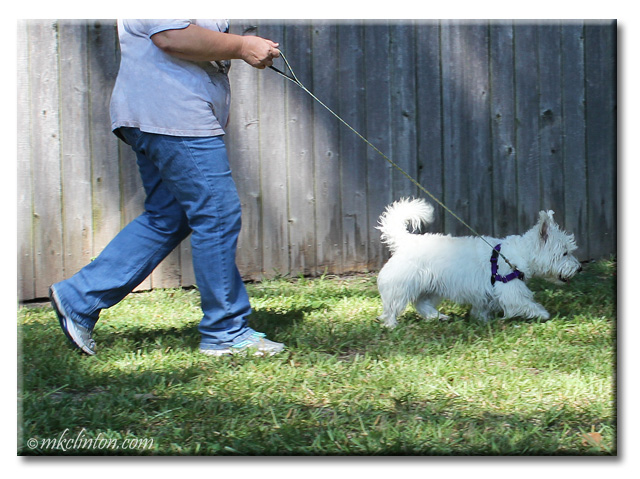 Pierre Westie walking with PetSafe Easy Walk Harness