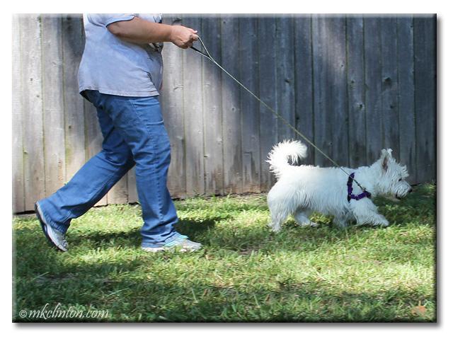 Pierre Westie walking with PetSafe Easy Walk Harness