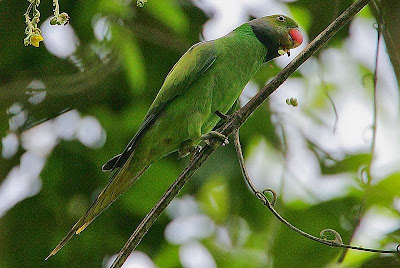 Emerald collared parakeet