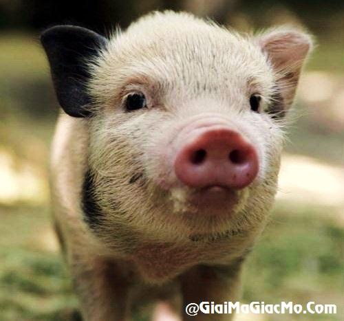 Giải mã giấc mơ thấy Heo & ngủ nằm mơ thấy con Lợn