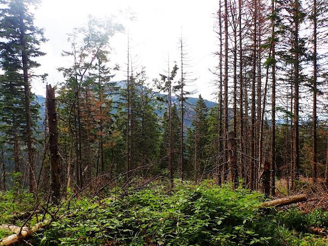 Las w okolicach Myślenickich Turni