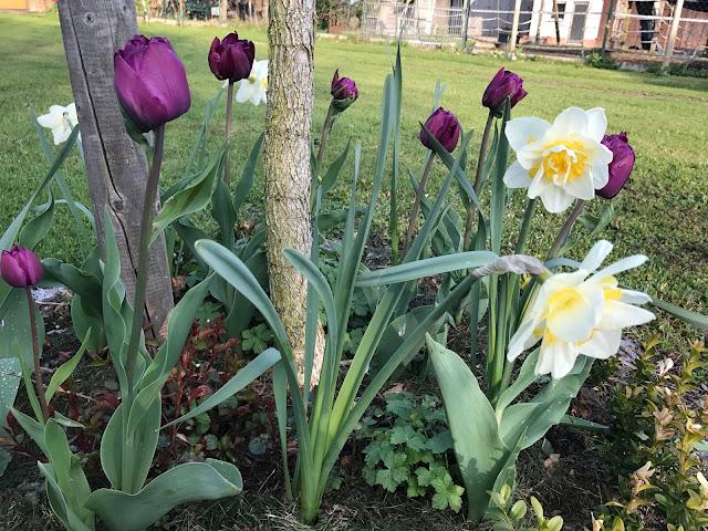 fliederfarbene Tulpen und weiße Narzissen (c) by Joachim Wenk