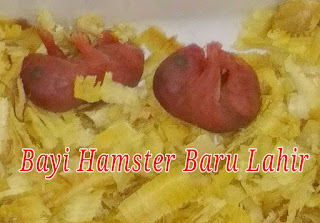 detik-detik proses hamster melahirkan