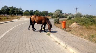 Dzikie konie przy drodze na plażę w Sulinie