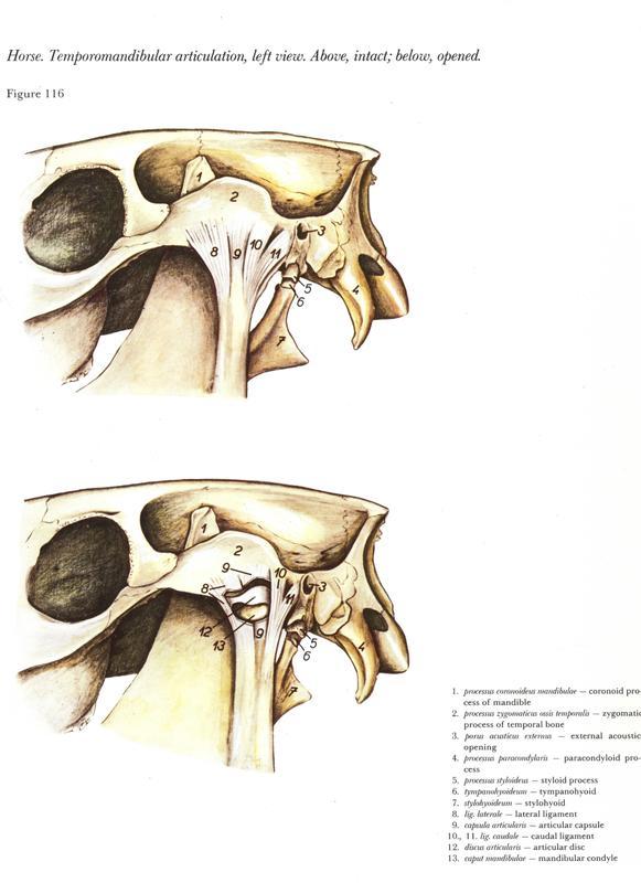 horse-cavalo-skull-anatomy-anatomia-cranio-maxilar-sinusal-sinuses-vetarq-muscle-musculatura-bone-osso