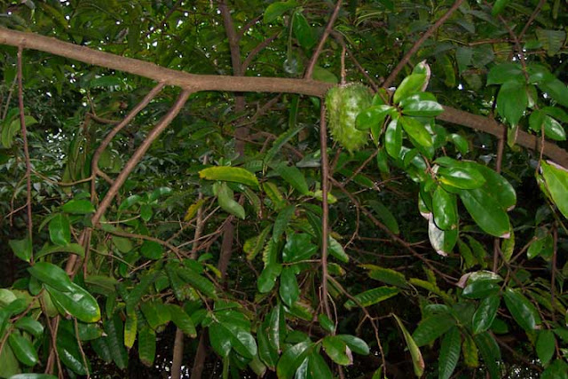 Mungkin selama ini Anda lebih mengenal buah sirsak dibandingkan dengan manfaat daun sirsak 10 Top Manfaat daun sirsak yang luar biasa
