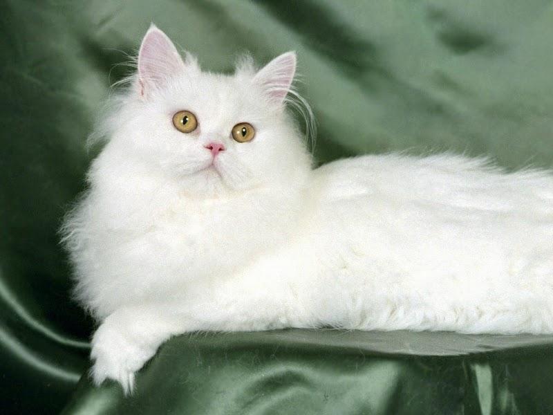 Cara Merawat Kucing Persia Situshewan Com