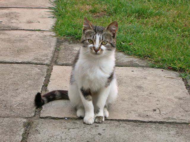 kot, trawnik, święto kota, pozowanie
