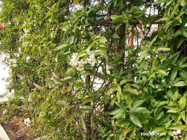 SOLANO: Solanum laxum