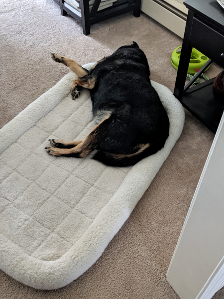 image of Zelda the Black and Tan Mutt sleeping half in and half out of a dog bed on the dining room floor