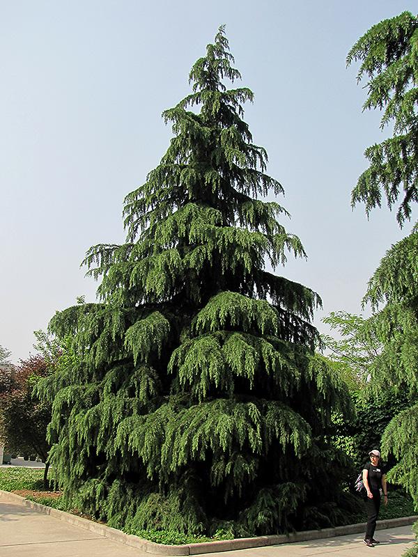 Cedrus Deodara Deodar Cedar Trees
