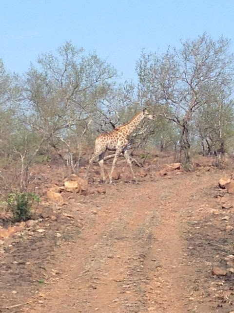 game drive, singita lebombo lodge, safari, exclusive, giraffe crossing