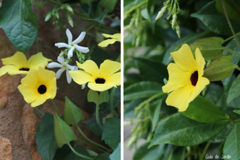 Trachelospermum jasminoides y Tumberghia alata