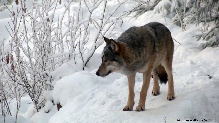 Rehabilitación Del Lobo Gris En Proceso: ACCIÓN LOBO: ¿Perdiendo El Norte?