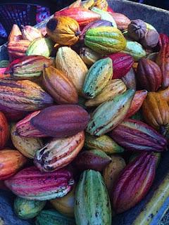 gambar buah kakao asli