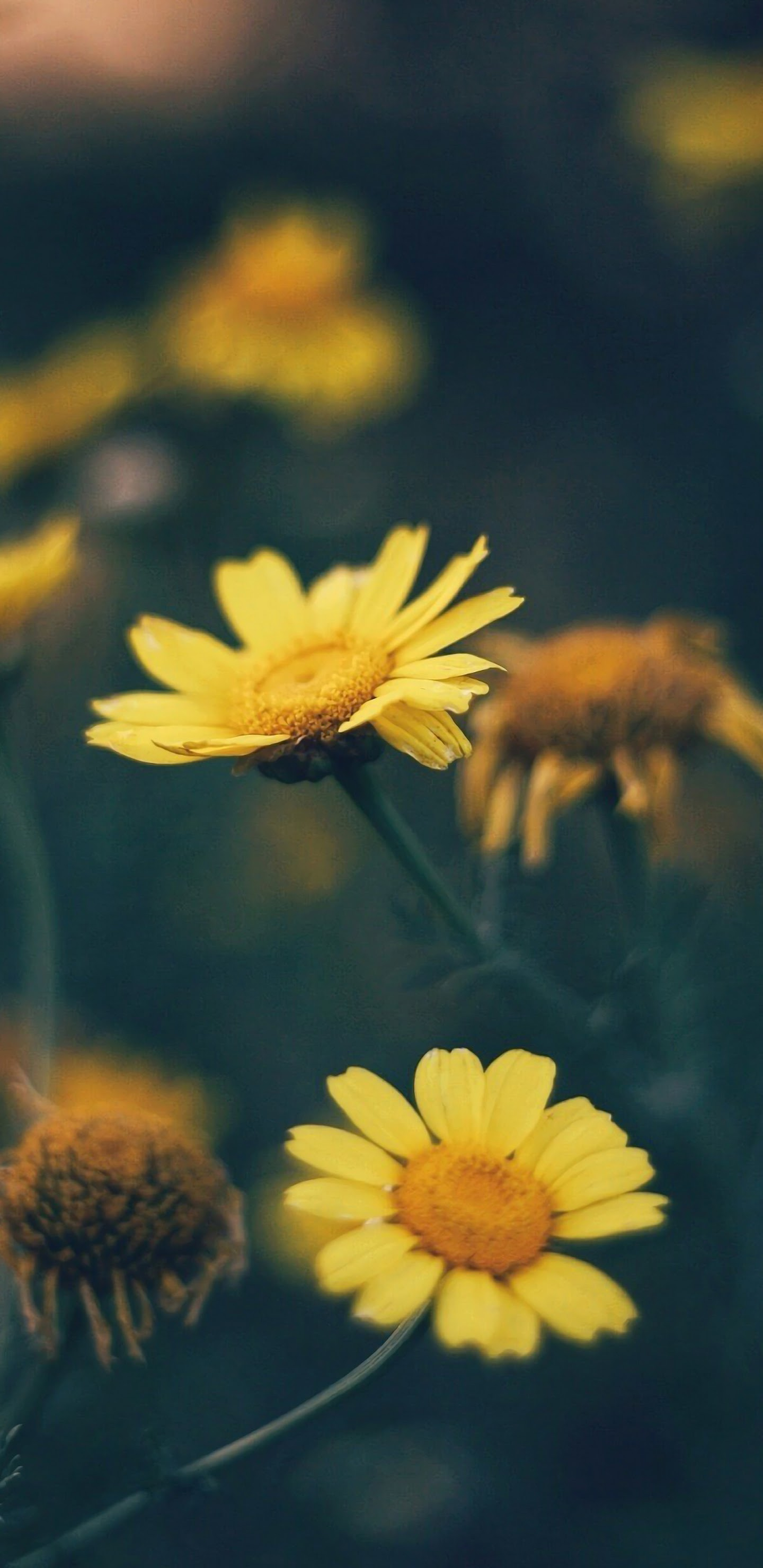 Yellow Daisy Flower Nature 4k Wallpaper 90