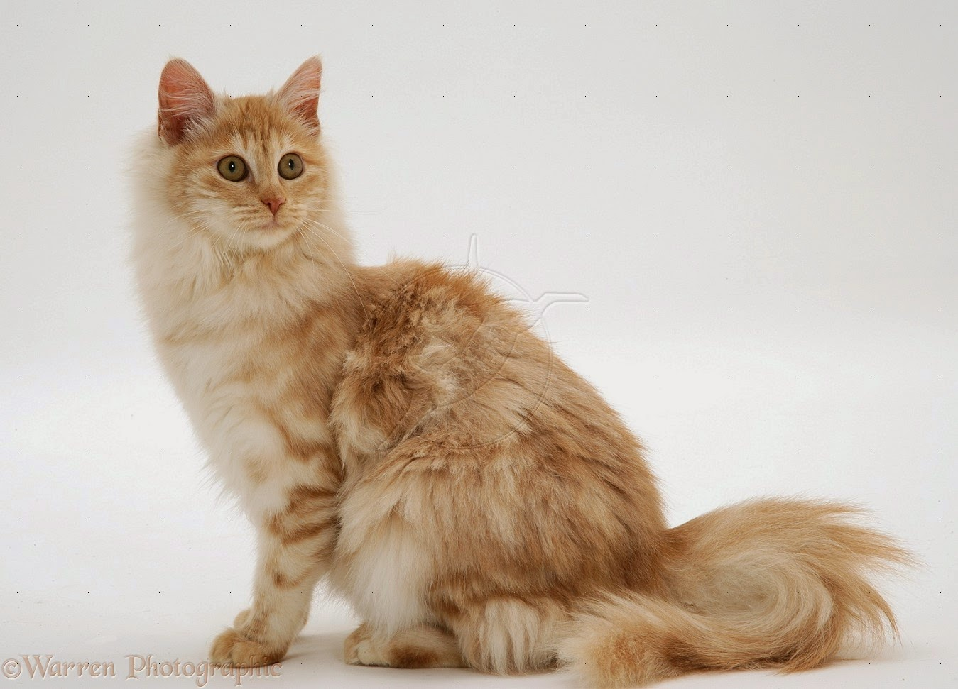 25 Foto Dan Gambar Kucing Anggora Harga Kucing Anggora