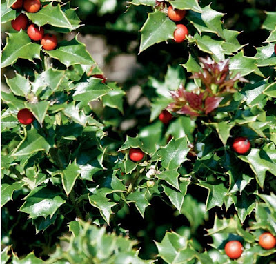 Holly plant | Christmas flower