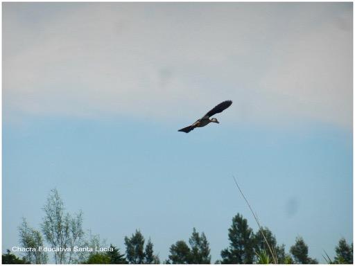 Pato silvestre volando - Chacra Educativa Santa Lucía