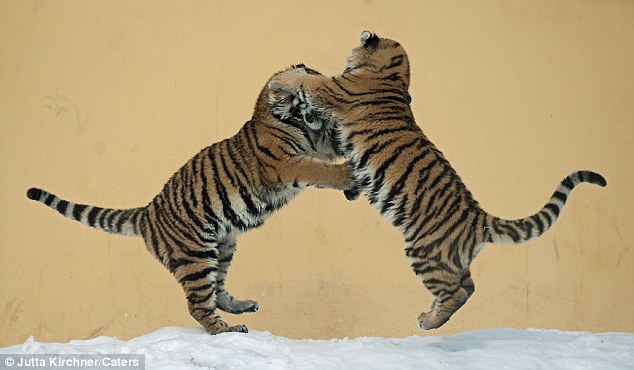 cute tigers dancing on snow at vienna zoo amazing creatures