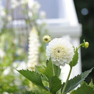 Gambar Bunga Aster yang Cantik 3