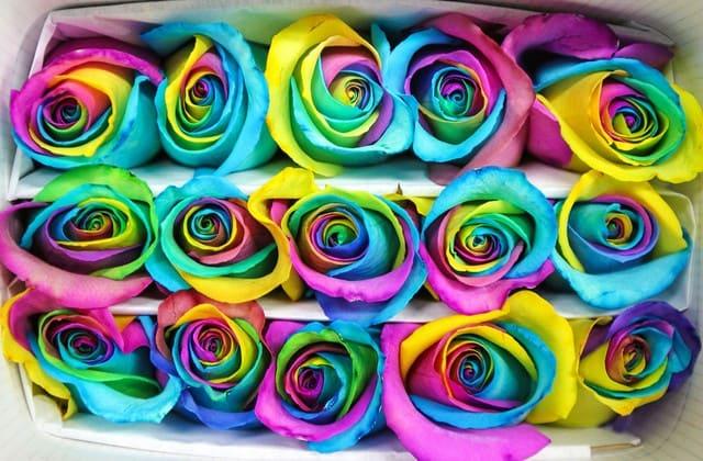 gambar bunga mawar pelangi memukau