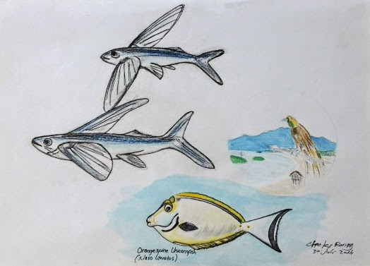 Raja ampat reef drawing flying fish for Flying fish drawing