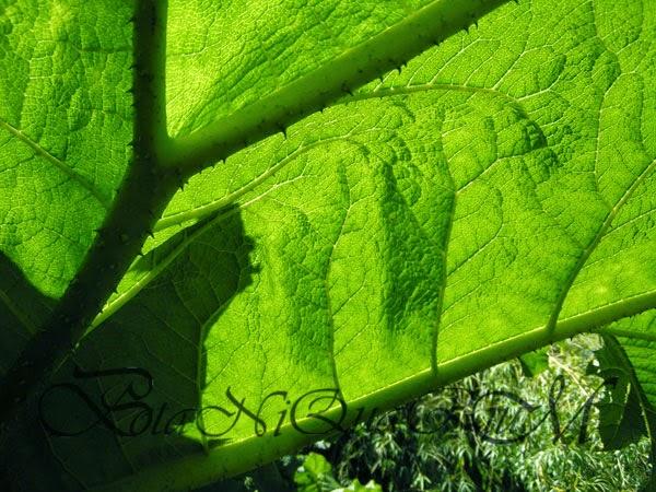 Botaniquarium - Gunnera manicata leaf illuminated