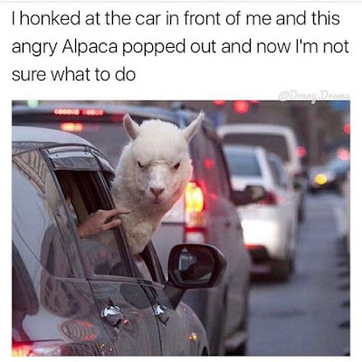 angry alpaca, alpaca pics, alpaca meme, road rage,  not sure what to do