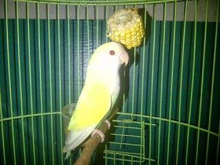 Burung Lovebird - Snot atau Coryza yang Menyerang Burung Lovebird  dan Cara Penangannannya - Penangkaran Burung Lovebird