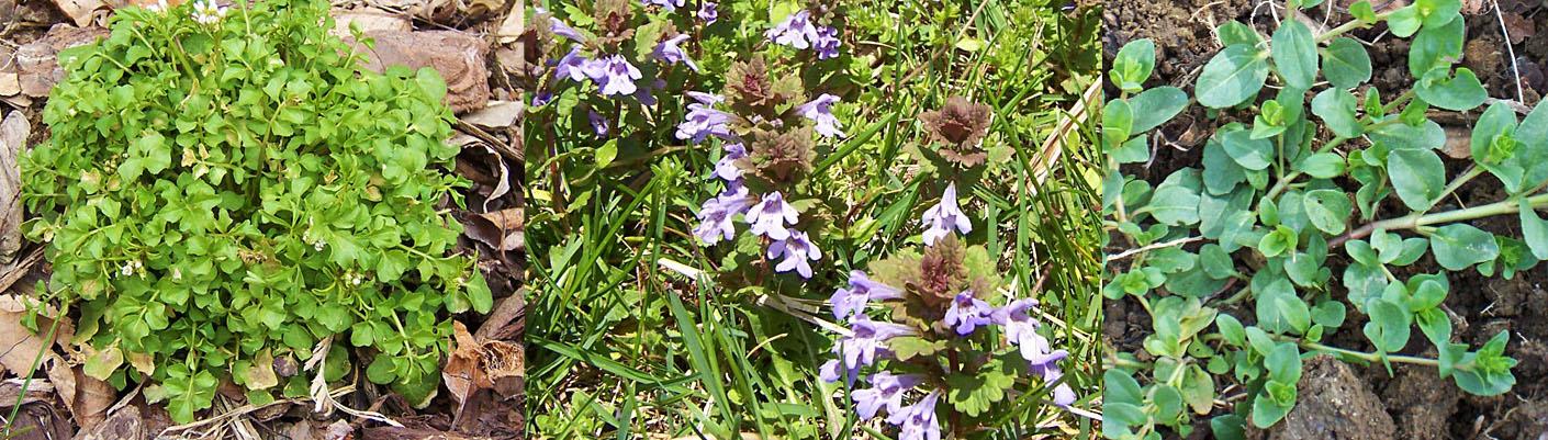 hairy bittercress, purple deadnettle, common chickweed