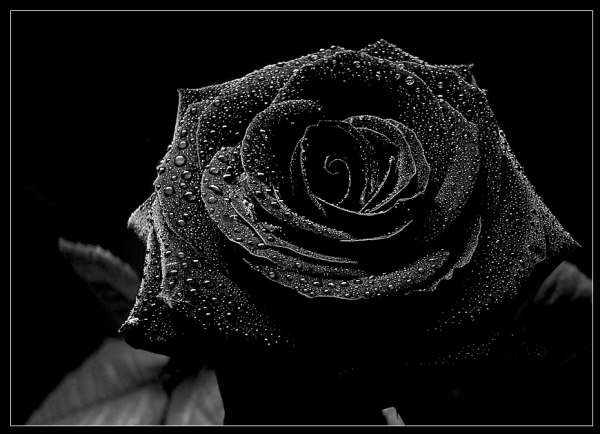 Yellow Color Wallpapers: Black Rose Flowers