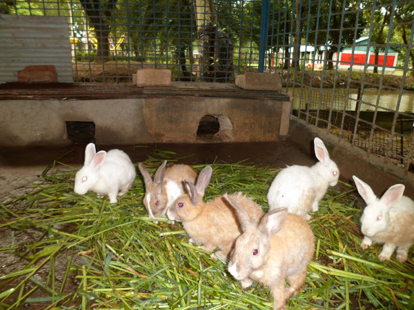 rabbit, rabbit farming, farming rabbits, rabbit breeds, rabbit feed, rabbit housing, white rabbit, rabbit pictures