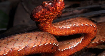 New species of Reddish-Brown Pit Viper in Arunachal Pradesh