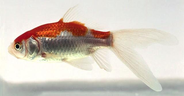 Budidaya Ikan Komet - Budidaya Ikan