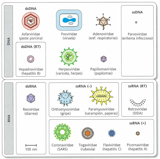 tipos principales del virus