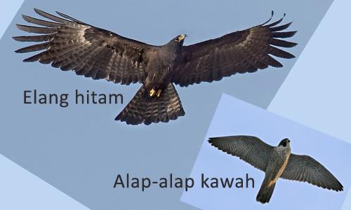 perbedaan sayap elang dan alap-alap
