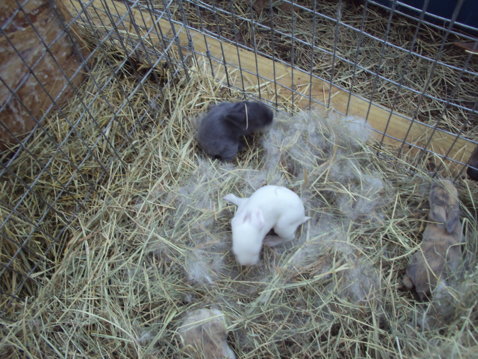 how to sex newborn bunnies