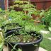 Rau sạch, Vườn rau sạch tại nhà,Misaco