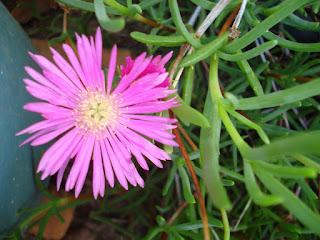 Cacto-margarida (Lampranthus productus) Tem as folhas finas, muito parecidas com as das onze-horas, porém, a flor é composta por muitas pétalas, bem finas, sendo bastante parecida com a da rosinha-de-sol. A cor mais comum da flor é a rosa, mas encontram-se também amarelas, laranjas, vermelhas, violetas e brancas.