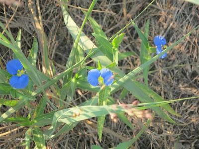 dayflower, Commelina