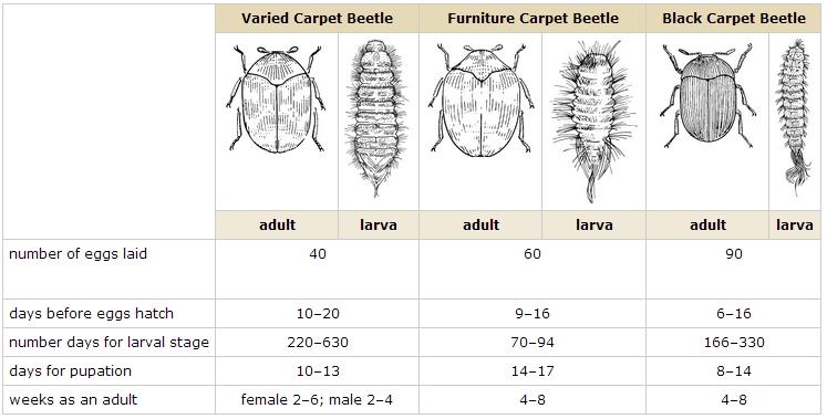 Life Cycle Of 3 Species Carpet Beetles