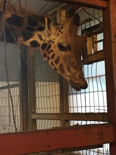 South Lakes Safari Zoo giraffe