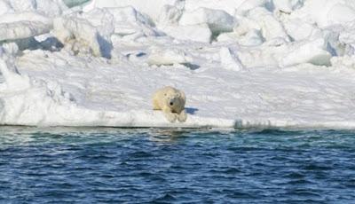 Gawat, Beruang Kutub Kini Dilanda Kelaparan