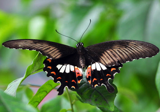 The Common Mormon Butterfly and Madagascar Periwinkles