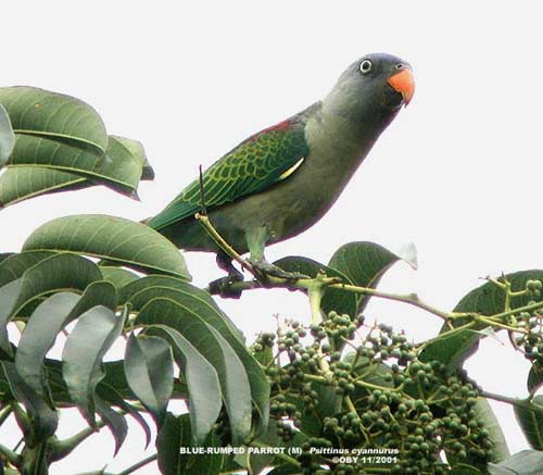 Burung Nuri Tanau